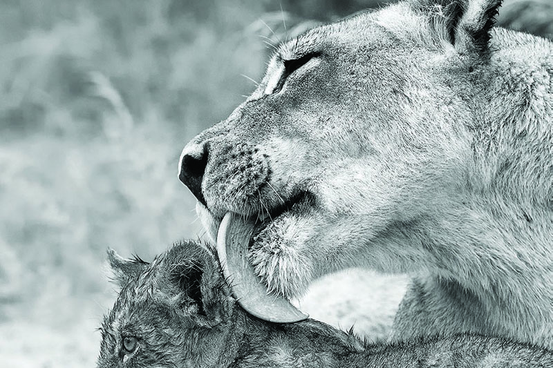 media-articles-blog-posts-wildebeest-nasikia-camps-game-drives-tours-tanzania-safaris-africa-INDWE-Cover
