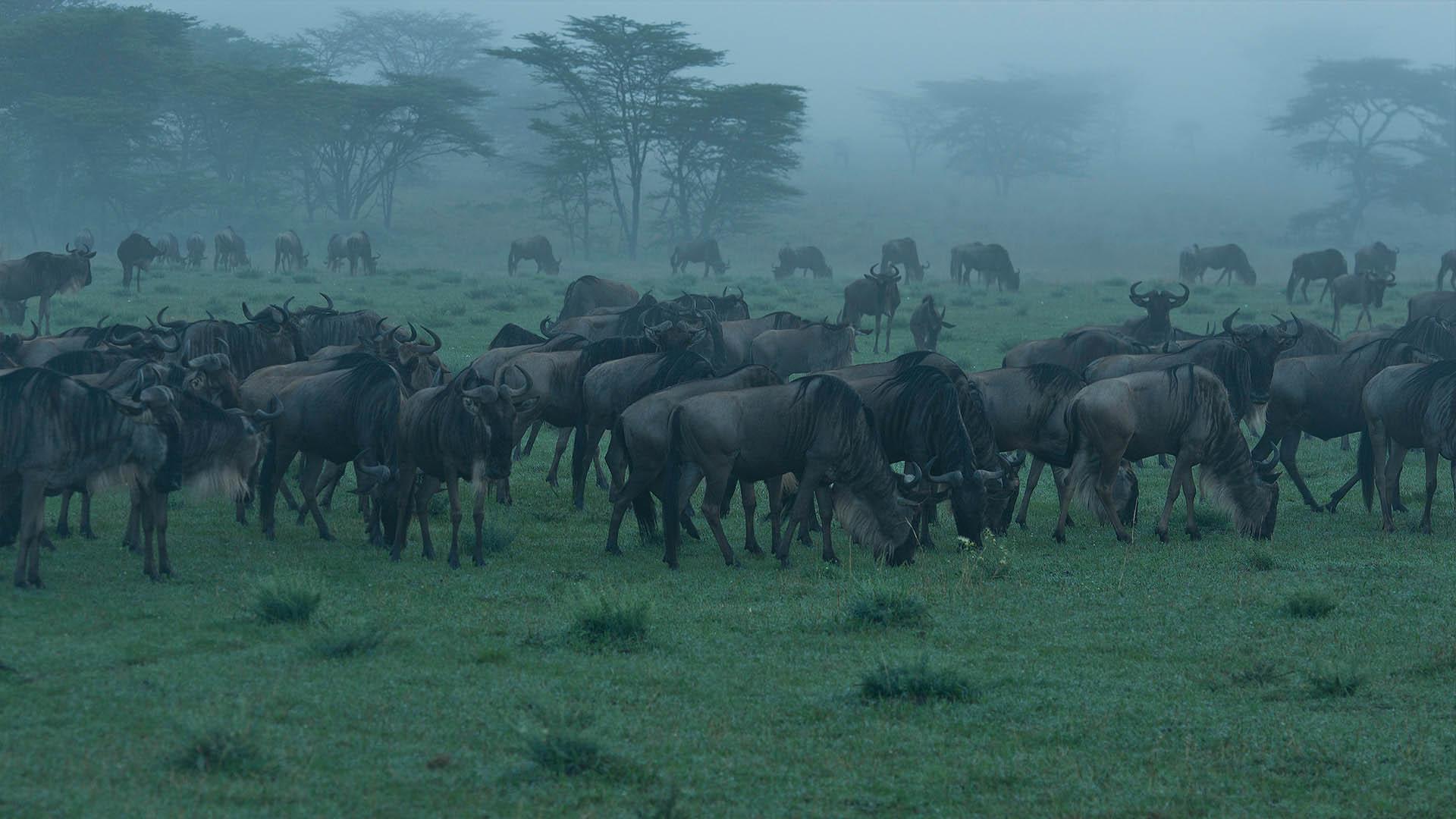 media-articles-blog-posts-wildebeest-nasikia-camps-game-drives-tours-tanzania-safaris-africa